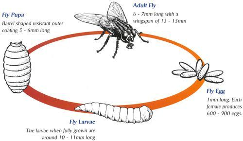 Fruit Fly Life Cycle Lifespan Of Fruit Flies