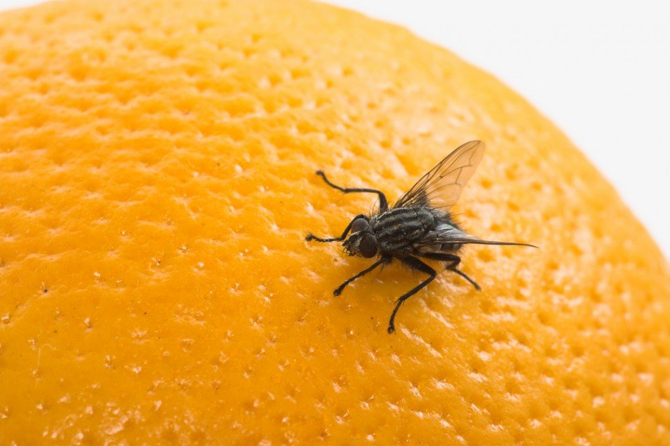do fruit flies bite papaya fruit