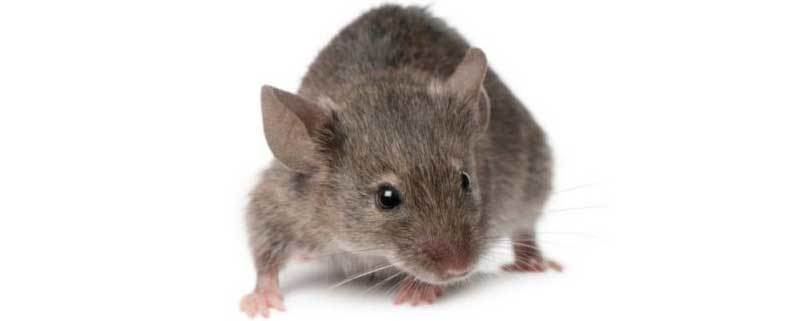How Much Does Mice Extermination Cost?