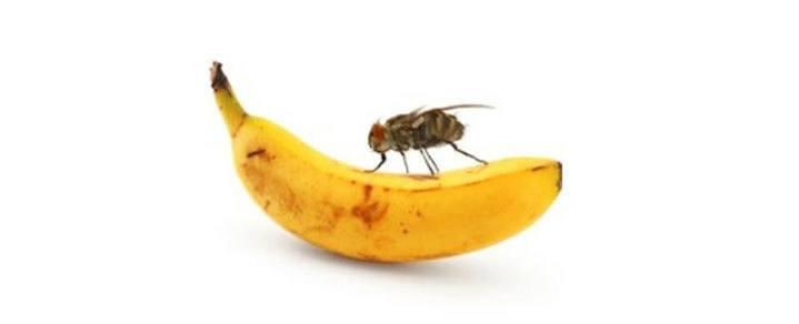 do fruit flies bite is a cashew a fruit